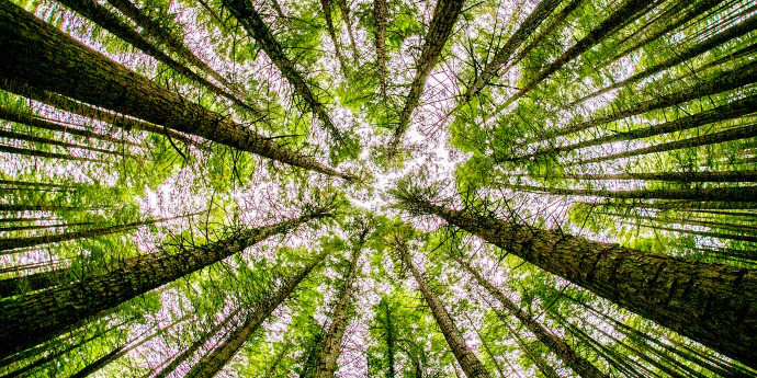 Looking up through a forest of trees